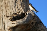 Birds nesting at Wachtels Lagoon, Kingston-on-Murray