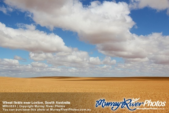 Wheat fields near Loxton, South Australia