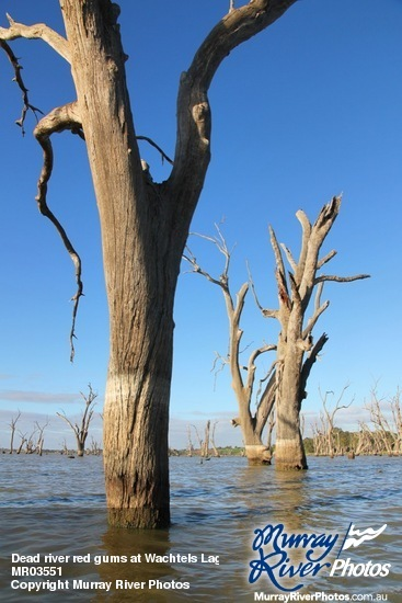 Dead river red gums at Wachtels Lagoon, Kingston-on-Murray