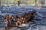 Willow wood piles for Mildura Paddlesteamers