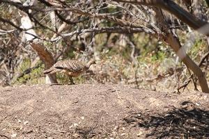 Mallee Fowl nesting