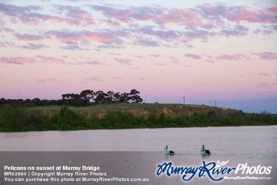 Pelicans on sunset at Murray Bridge