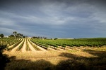 Vineyards at Bowhill, South Australia