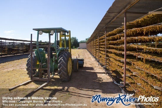 Drying sultanas in Mildura, Victoria