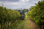 Trimming grape vines in Blanchetown, South Australia