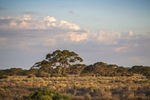 Last light on a Mallee scrub, Big Plains near Blanchetown