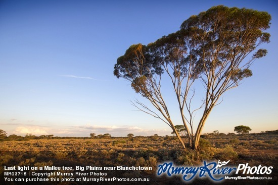 Last light on a Mallee tree, Big Plains near Blanchetown