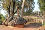 Big Mallee Stump, Ouyen, Victoria