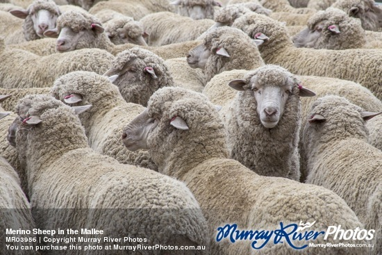 Merino Sheep in the Mallee