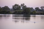 Pelicans cruising on sunrise at Murray Bridge