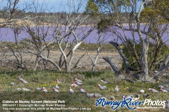 Galahs at Murray-Sunset National Park