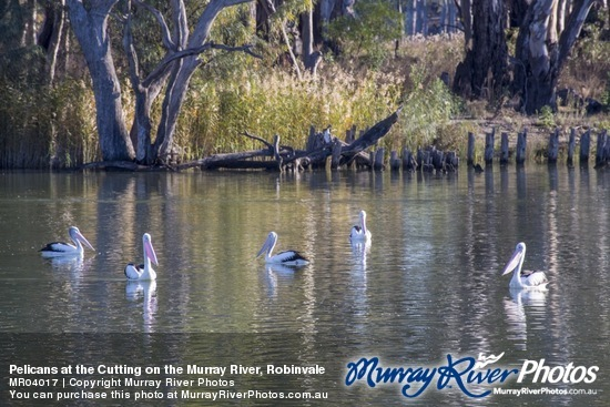 Pelicans at the Cutting on the Murray River, Robinvale