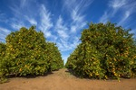 Orange trees at Waikerie, South Australia
