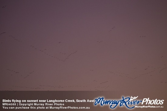 Birds flying on sunset near Langhorne Creek, South Australia