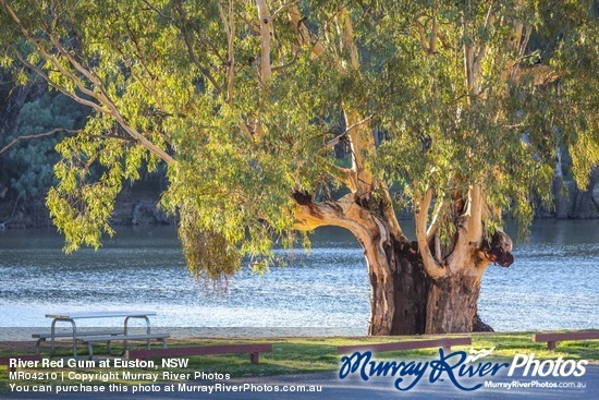 River Red Gum at Euston, NSW