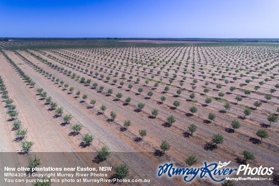 New olive plantations near Euston, NSW