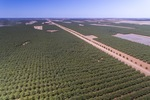 Almond plantation south of Robinvale