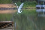 Great Egret by the Murray River, Wilkadene