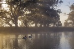 Pelicans on surnrise on the Darling River, Wentworth