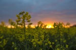 Sunrise over a canola crop near Pinnaroo, South Australia