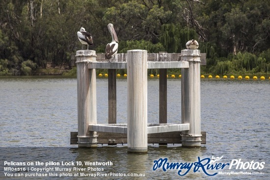 Pelicans on the pillon Lock 10, Wentworth